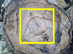 der Baumstamm wird im Festmeter gemessen